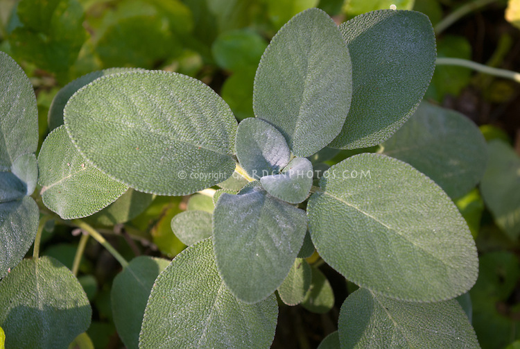 Salvia officinalis 'Berggarten' HERB SAGE, closeup of foliage leaves, more rounded than typical sage