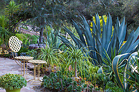 Agave americana with Beaucarnea recurvata, Ponytail Palm and Aeoniums by patio in Debra Lee Baldwin Southern California suculent garden