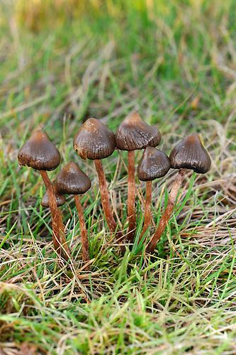 Psilocybe semilanceata - Liberty Cap, Magic Mushroom