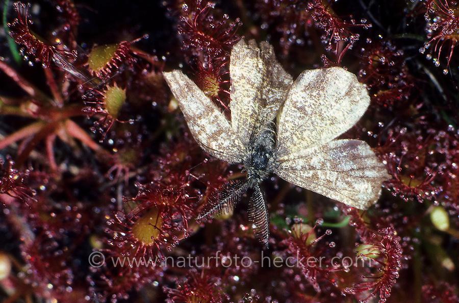 Sonnentau, Schmetterling hat sich an den Klebtropfen verfangen, Drosera spec., sundew