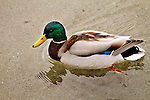 Mallard Duck - horizontal