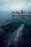 Baja, Mexico, Gray whales, Eschrichtius robustus, mother cow with baby showing off to whale watchers in Bahia San Ignacio, Baja, Baja Sur, Mexico..