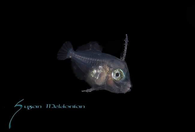 Filefish larva, unable to distinguish which one due to infancy.ID Alex Machin, Dr. Benjamin Victor