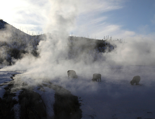 Bison graze near a hot spring during winter at Yellowstone National Park, Wyoming
