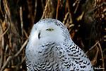OWL: snowy