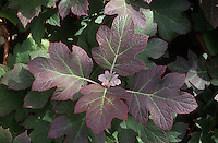 Hydrangea quercifolia Oak-leaf Hydrangea shrub closeup of serveral colorful leaves in autumn fall