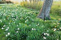 Jardin de la Ferme du Mont des R&eacute;collets: prairie plant&eacute;es de plantes bulbeuses autour d'un noyer avec les narcisses<br /> 'Mount Hood', blanc pur au tr&egrave;s beau feuillage gris vert<br /> narcisses jaunes'Sherbourne' double &nbsp;tr&egrave;s odorant, 'Jet fire', 'T&ecirc;te &agrave; t&euml;te', 'L'or de Janvier' &agrave; coupe large. // France, garden of Ferme du Mont des R&eacute;collets, prairie with bulbous plants including narcissus around a walnut trunk