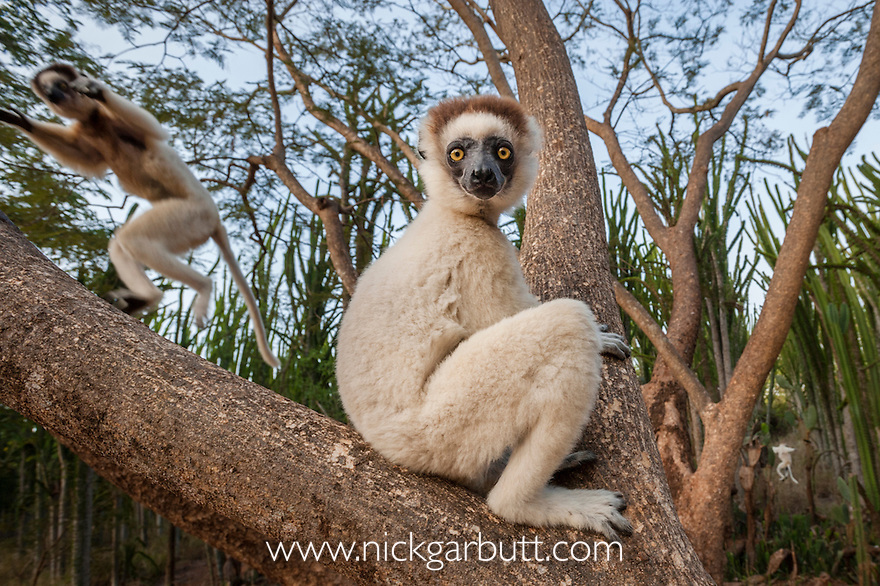 Verreaux's Sifaka (Propithecus verreauxi) in spiny forest near Anjampolo, Berenty southern Madagascar.