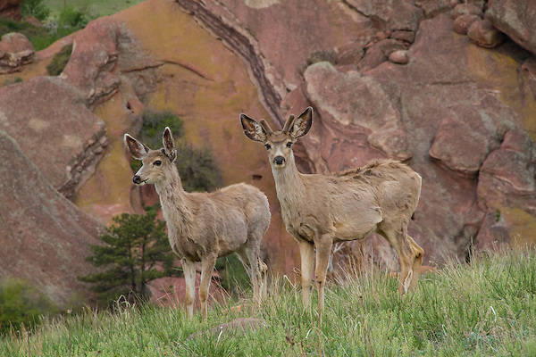Mule deer can be common in any season along the foothills.<br />