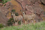Mule deer can be common in any season along the foothills, especially near the NCAR facility.<br />