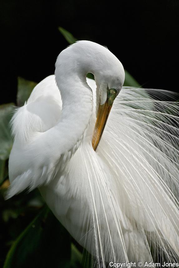 Great Egret in breeding plumage preening feathers, Casmerodius albus, Corkscrew Swamp Sanctuary, near Naples, FL