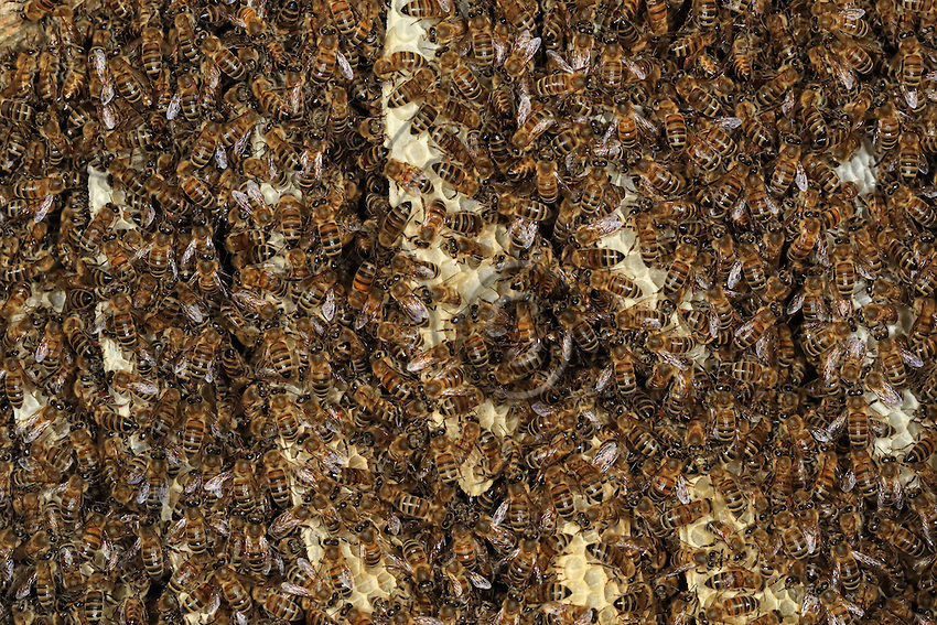 In a Kara Kovan, trunk hive, combs full of caucasian bees (Apis mellifera caucasica). Also called the gray bee, this sub-species is highly prized by beekeepers. It combines exceptional gentleness with a low tendency to swarm and it only raises a small number of royal cells. It's breeding curve is regular, which predisposes it to long honey seasons in summer. Its penchant for amassing the nectar in a minimum number of cells improves the quality of the honey it produces.///Dans une ruche tronc Kara Kovan, des rayons avec des abeilles caucasiennes (Apis mellifera caucasica). Appelée également appelée abeille grise, cette sous-espèce est prisée par les apiculteurs. Elle allie une douceur exceptionnelle à une faible tendance à l'essaimage et elle n'élève qu'un petit nombre de cellules royales. Sa courbe d'élevage est régulière ce qui la prédispose aux miellées longues d'été. Son attachement à amasser le nectar dans un nombre minimum de cellules améliore la qualité du miel qu'elle produit.