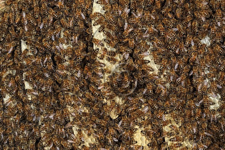 In a Kara Kovan, trunk hive, combs full of caucasian bees (Apis mellifera caucasica). Also called the gray bee, this sub-species is highly prized by beekeepers. It combines exceptional gentleness with a low tendency to swarm and it only raises a small number of royal cells. It's breeding curve is regular, which predisposes it to long honey seasons in summer. Its penchant for amassing the nectar in a minimum number of cells improves the quality of the honey it produces.///Dans une ruche tronc Kara Kovan, des rayons avec des abeilles caucasiennes (Apis mellifera caucasica). Appelée également appelée abeille grise, cette sous-espèce est prisée par les apiculteurs. Elle allie une douceur exceptionnelle à une faible tendance à l'essaimage et elle n'élève qu'un petit nombre de cellules royales. Sa courbe d'élevage est régulière ce qui la prédispose aux miellées longues d'été. Son attachement à amasser le nectar dans un nombre minimum de cellules améliore la qualité du miel qu'elle produit.