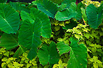 Elephant plant leaves
