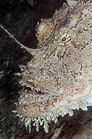 Monkfish, Lophius piscotorius, Lofoten, Norway,