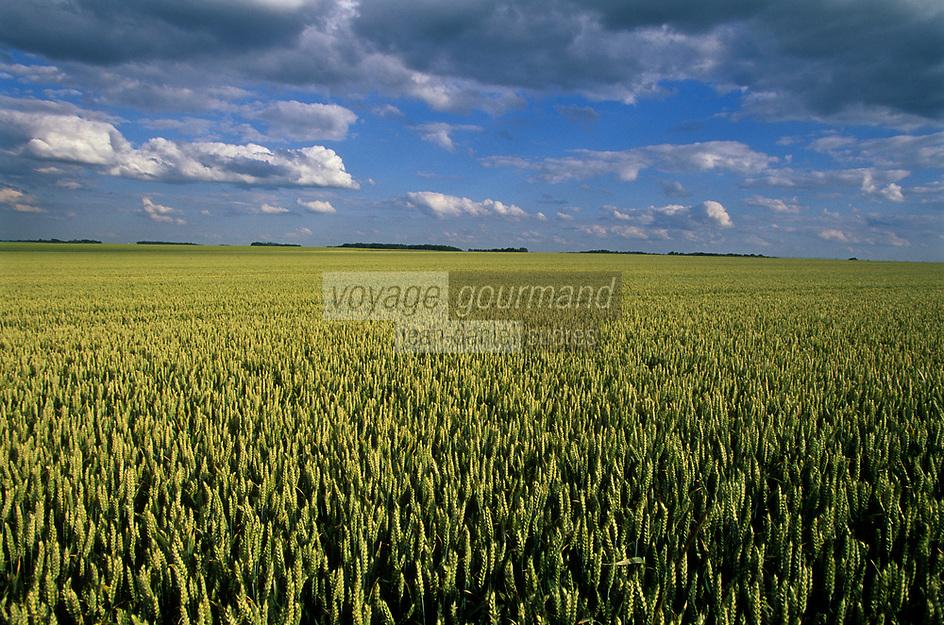 Europe/France/Ile-de-France/77/Seine-et-Marne/Environs de Chevru: Paysage agricole de la brie, champ de céréales