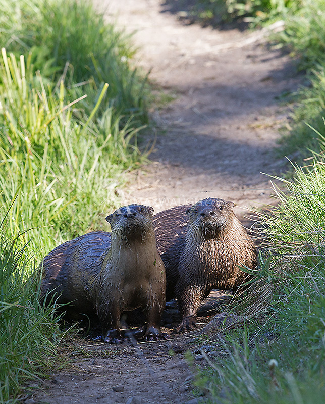 A pair of otters block the path at Trout Lake.