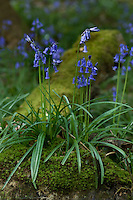Detail of a Common Bluebell growing on a moss-covered boulder deep in the woods