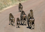 Savanna Baboon in Serengeti National Park,.(Papio cynocephalus).August 18, 2006. © Fitzroy Barrett