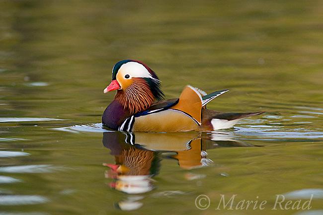 Mandarin Duck (Aix galericulata), male, California, USA