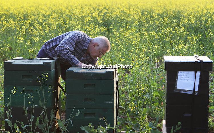Foto: VidiPhoto..PANNERDEN - De imkers Theo Joosten (foto) uit Gendt en Adriaan van Egmond uit Dodewaarden, plaatsen maandag hun bijenkasten bij de 10 ha. koolzaad van melkveehouder Wezendonk uit het Gelderse Pannerden. Koolzaad staat op dit moment volop in bloei. Voor Wezendonk betekent de bestuiving door de bijen meer opbrengst en de imkers 'oogsten' na de bloei van het koolzaad honing. Voor een goede bestuiving zijn volgens de imkers twee sterke bijenvolken per ha. nodig. Het koolzaad wordt gebruikt voor de voedingsindustrie en biobrandstof..