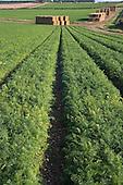 Carrot Fields Burnham Overy Norfolk October