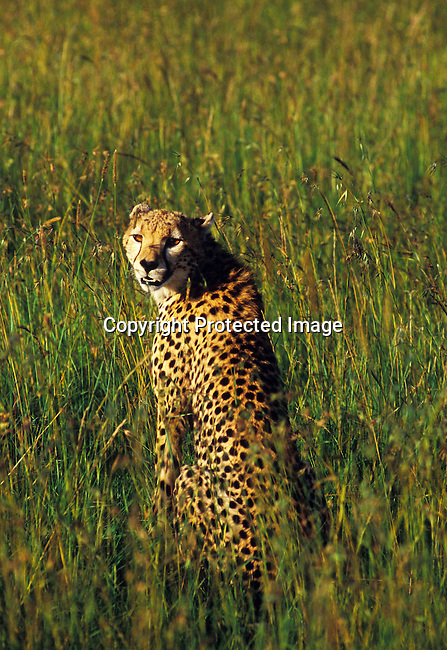 diwildl00105 Wild life  masai-mara, landscape, field, wild,animal,cheetah,hunt,hunting.A cheetah hunts in Masai-Mara in Kenya. .©Per-Anders Pettersson/iAfrika Photos