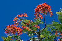 Seychelles, Island La Digue: Flamboyant tree - Royal poinciana (Delonix regia)