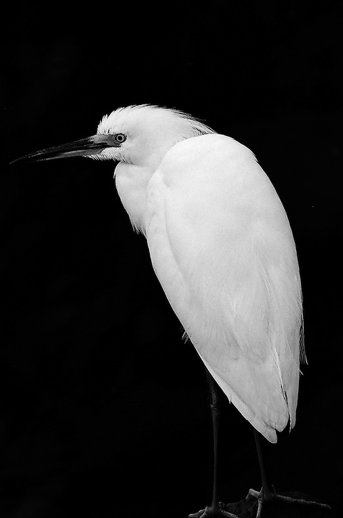 Egret,  San Joaquin Wildlife Sanctuary, Irvine, CA                    35mm image on Ilford Delta film