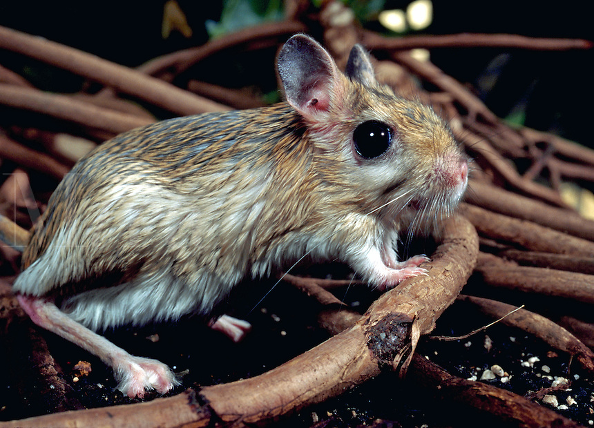Greater Jerboa.