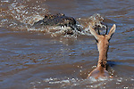 Nile Crocodile (Crocodylus niloticus) getting ready to attack a Thomson's Gazelle (Eudorcas thomsonii) as it crosses the Mara River, Masai Mara National Reserve, Kenya.