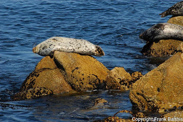harbor seals on rocks