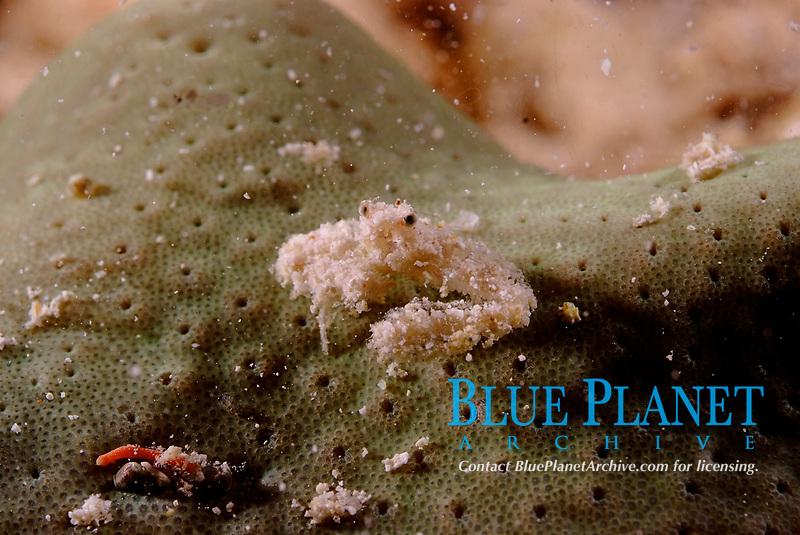 Decorator crab decorated in sand particles. Raja Ampat, West Papua, Indonesia, Pacific Ocean