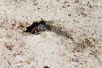 Große Blutbiene, Auen-Buckelbiene, Sphecodes albilabris, Sphecodes fuscipennis, Sweat bee, Halictid Bee, Blutbienen, Schmalbienen, Kuckucksbiene, Furchenbienen, Halictidae, Sweat bees, Halictid Bees
