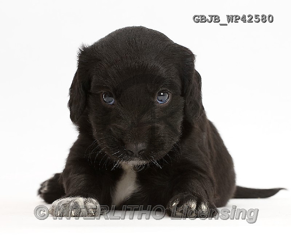 Kim, ANIMALS, REALISTISCHE TIERE, ANIMALES REALISTICOS, fondless, photos,+Black Cocker Spaniel puppy,++++,GBJBWP42580,#a#