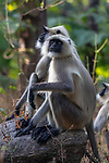 India, Madhya Pradesh, Pench National Park, Gray langur (Semnopithecus entellus), also called Hanuman langur