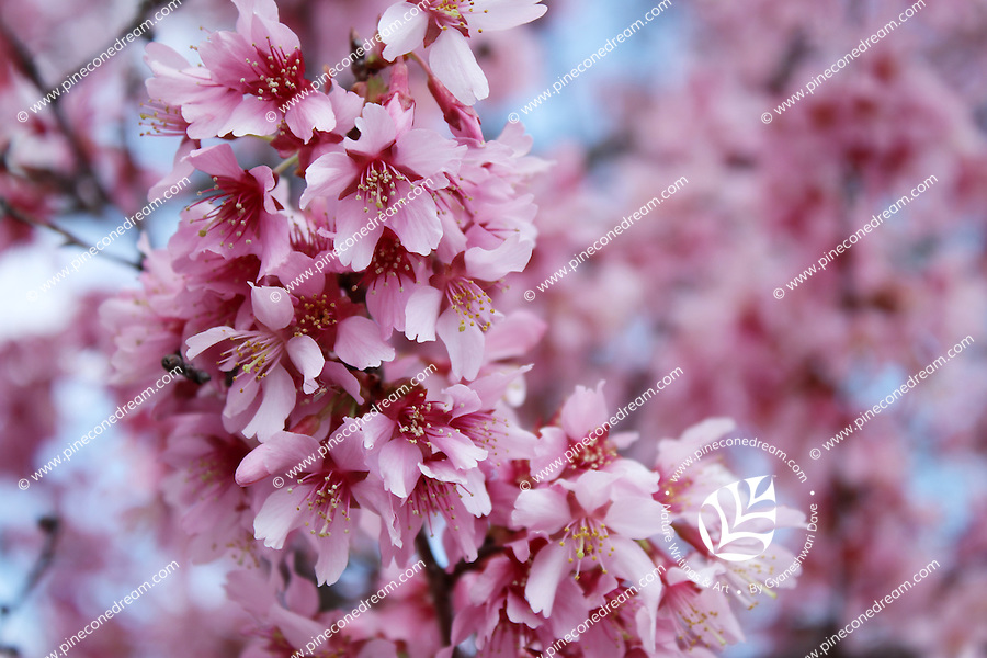 Cherry Blossom Pink Flowers Bunch Hanging On Tree Stock Image