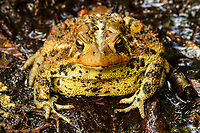 Closeup of an American Toad, Anaxyrus americanus, looking into the lens, in the Adirondack Forest Preserve in New York State