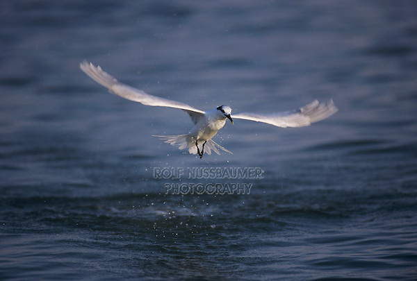 Sandwich Tern, Sterna sandvicensis,adult winter plumage fishing, Sanibel Island, Florida, USA