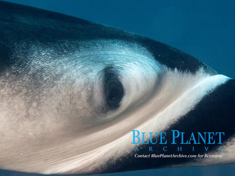Manta Ray, Manta birostris eye close up, Socorro Island, Revillagigedo archipelago, Pacific ocean, Mexico