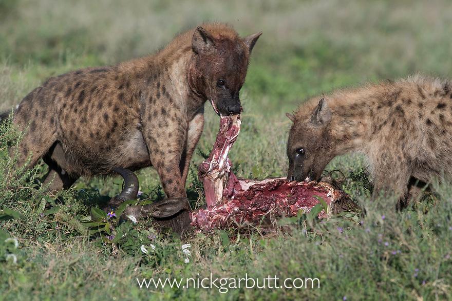 Spotted hyenas (Crocuta crocuta) feeding on a wildebeest kill. Short grass plains near Ndutu,  Ngorongoro Conservation Area / Serengeti Tanzania.