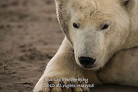 Dirty faced polar bear waits for the beaufort Sea to freeze.