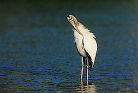 Wood Stork, Mycteria americana, adult, Sanibel Island, Florida, USA, Dezember 1998