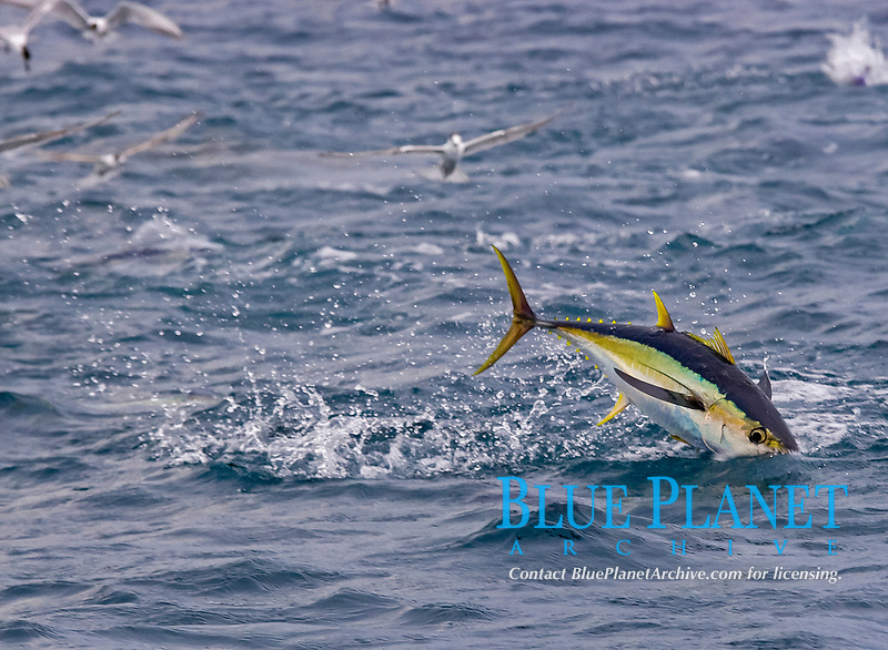 yellowfin tuna, Thunnus albacares, leaping out of water, South Africa