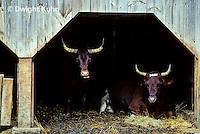 SH04-025z  Oxen - barn