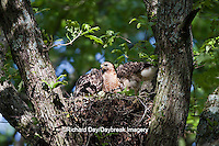 00794-00608 Red-shouldered Hawks (Buteo lineatus) adult and nestlings at nest, Marion Co., IL