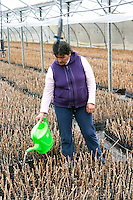 thousands of young pinot noir vines a person watering with in the plant school nursery Bodega Del Fin Del Mundo - The End of the World - Neuquen, Patagonia, Argentina, South America