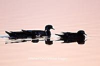 00715-08316 Wood Ducks (Aix sponsa) in wetland at sunrise, Marion Co., IL