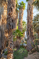 Desert fan palms (Washingtonia filifera) in The Living Desert Zoo and Gardens, Palm Springs, California.