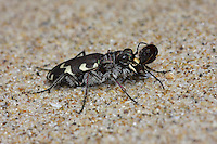 Dune Tiger Beetle - Cicindela maritima